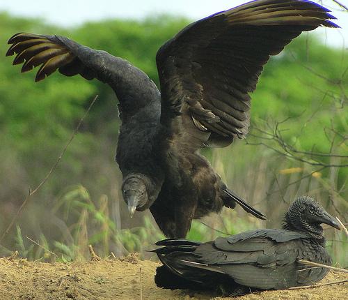 black-vultures