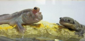 mudskipper-and-tiger-salamander